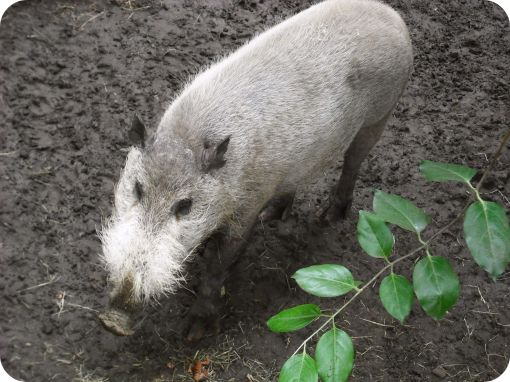 hairy-pig-thing